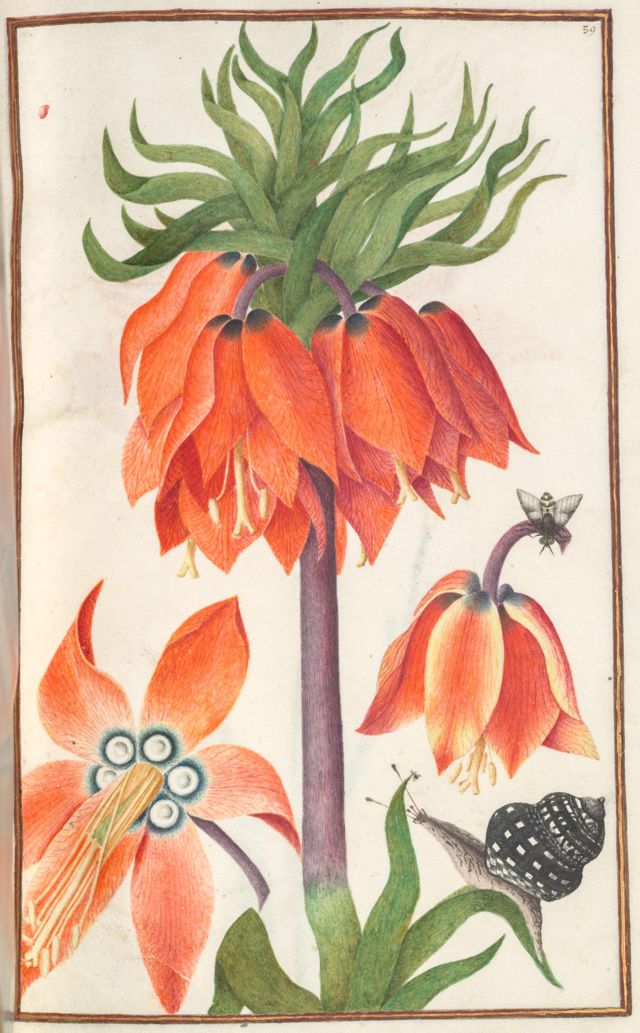 Florilegium: orange fritillaria imperialis (crown imperial)